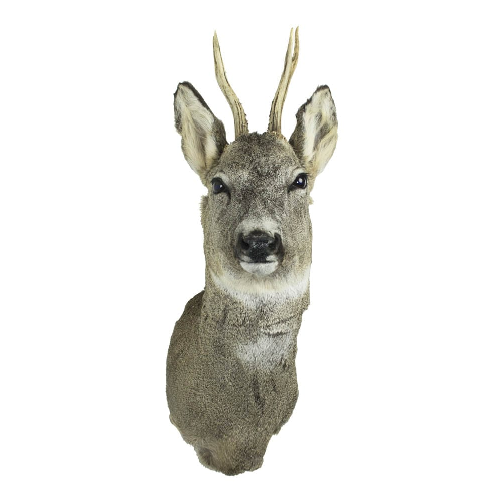Trophy Buck  Colored   Natural 17x36x60cm Mars & More